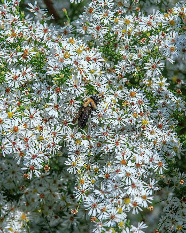 Calico Aster or Starved Aster DFL1010 by Gerry Gantt