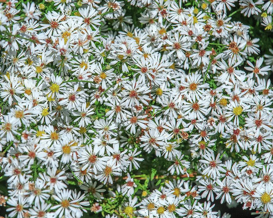 Calico Aster or Starved Aster DFL1011 by Gerry Gantt