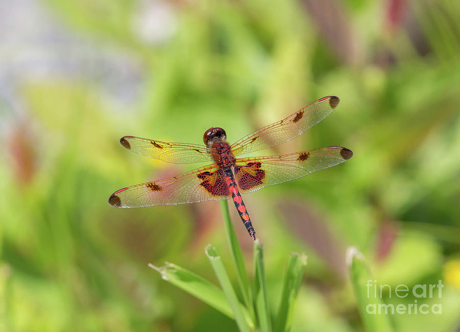 Calico Pennant Dragonfly by Kevin McCarthy