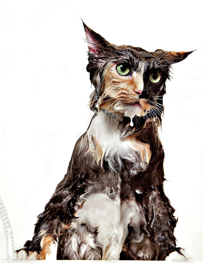 Calico Wet Cat Isolated Photograph by Debbismirnoff