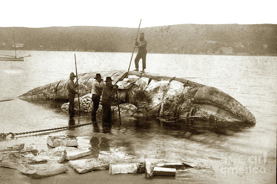 California Gary Whale being cut up by Whalers on the beach in So by California Views Archives Mr Pat Hathaway Archives