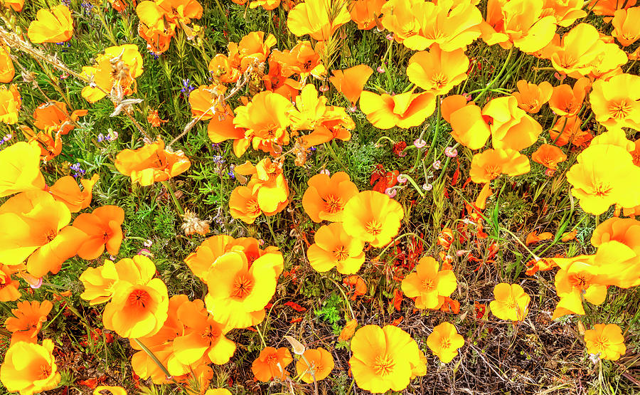 California Poppies - 2019 #3 by Gene Parks