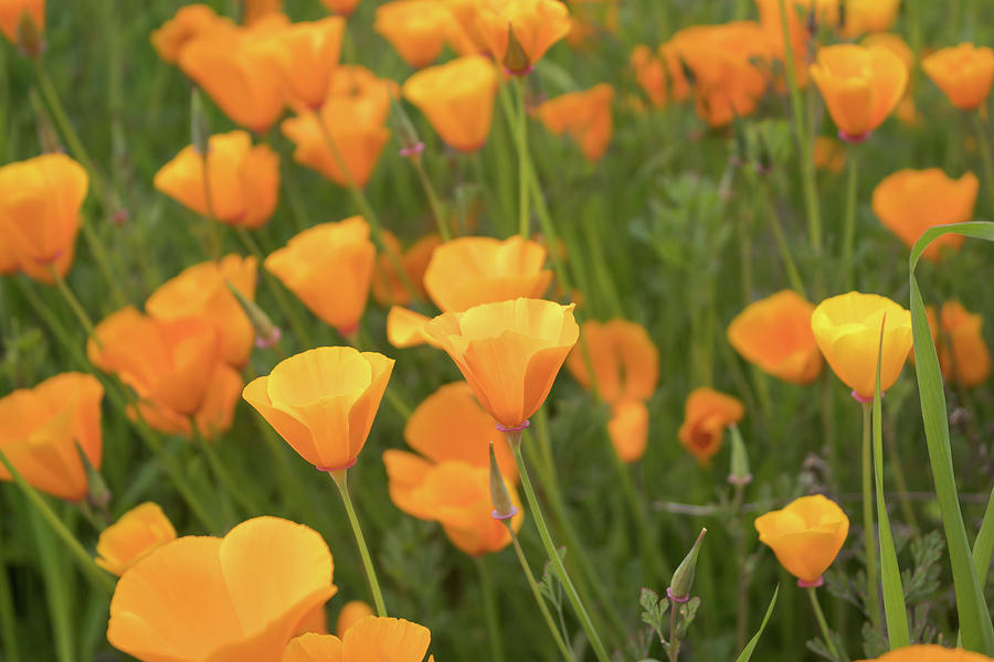 California Poppies by Alison Frank