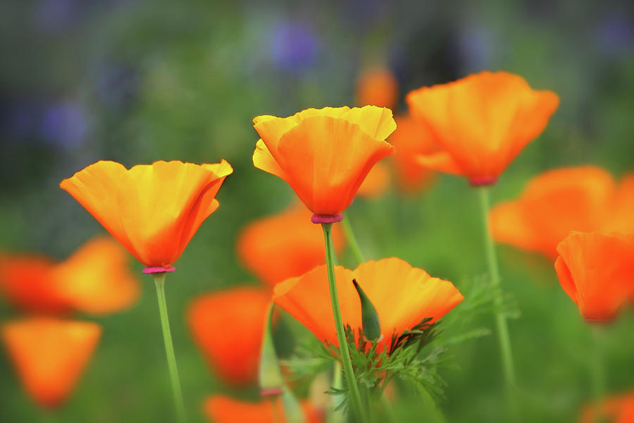 California Poppies by Diana Haronis
