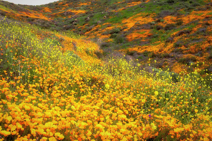 California Poppies Superbloom by Alison Frank