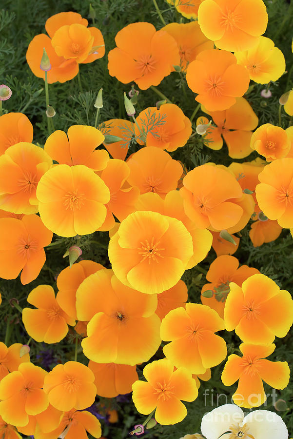 Eschscholzia Californica Photograph - California Poppies by Tim Gainey