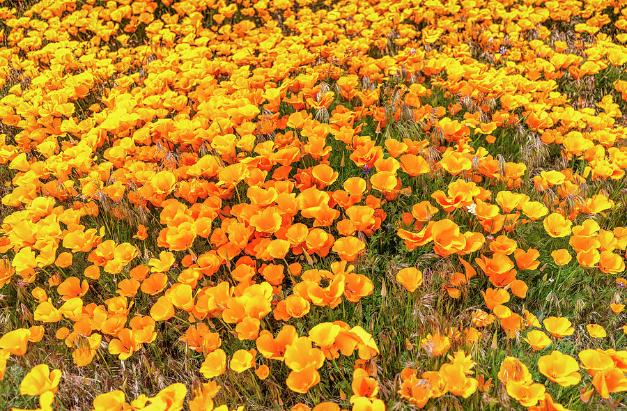 California Poppies - 2019 by Gene Parks
