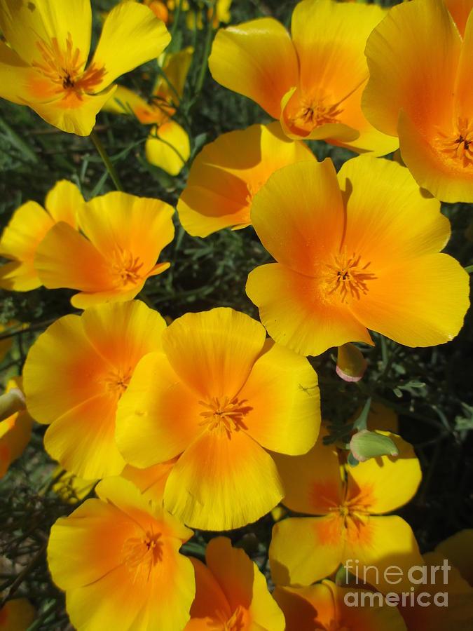 California Poppy Power by Martin Howard