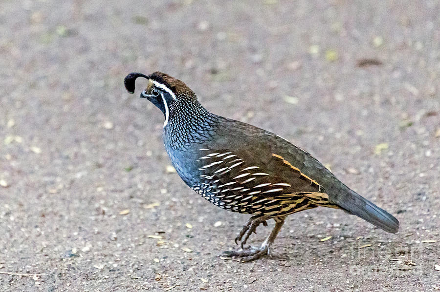 California Quail by Kate Brown