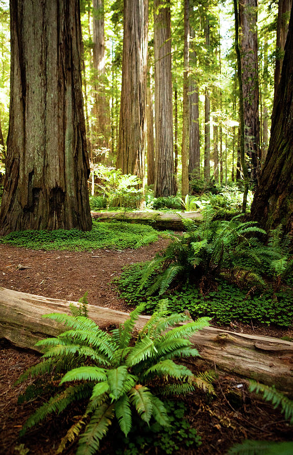 California Redwood Forest Photograph by Andipantz