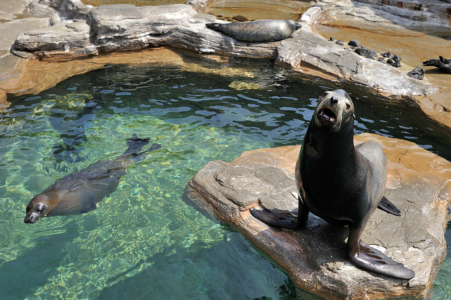 California Sea Lion And Spotted Seal Photograph by T. Nakamura Volvox Inc.