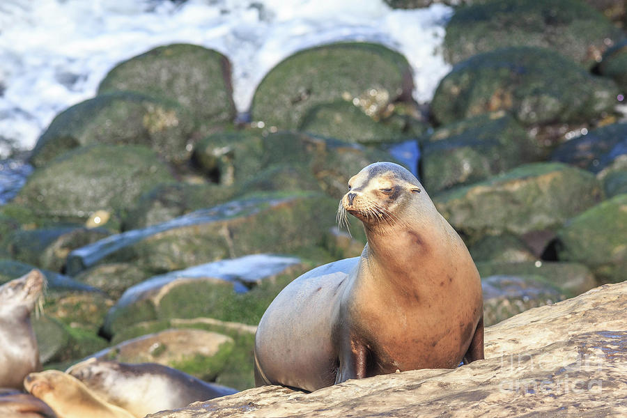 Nature Photograph - California Sea Lion La Jolla San Diego 2 by Edward Fielding