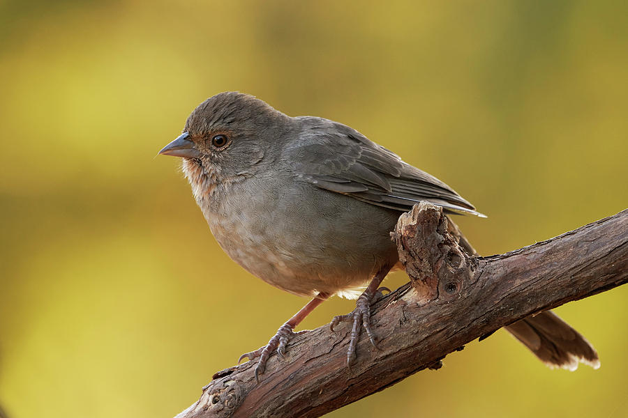Birds Photograph - California Towhee, Sacramento County Caliornia by Doug Herr
