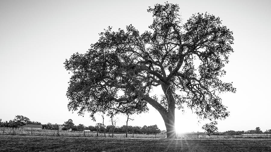 B&w Photograph - California Tree And Sunset  by John McGraw