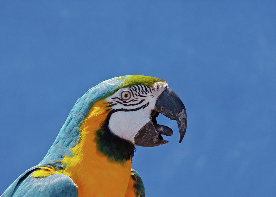 Call Of Macaw Photograph by Photo By Robert Mooney