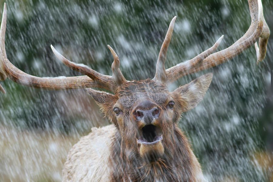 Call of the Wild- Bull Elk by Mark Miller