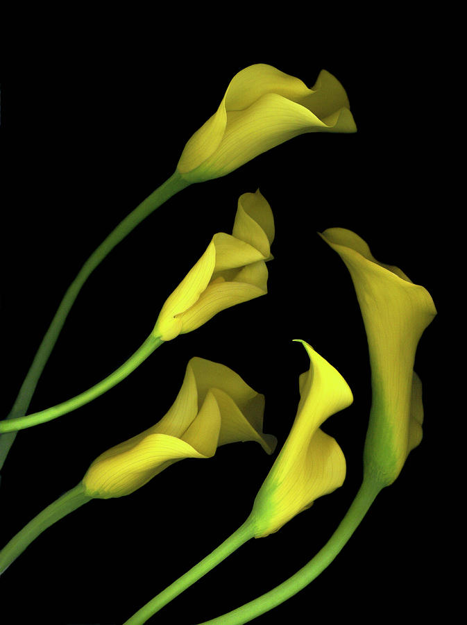 Yellow Calla Lilies Painting - Calla Lilies #1 by Susan S. Barmon