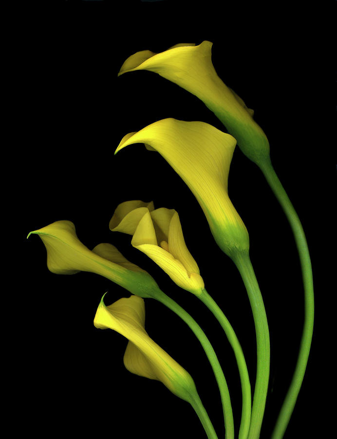 Yellow Calla Lilies Painting - Calla Lilies #3 by Susan S. Barmon