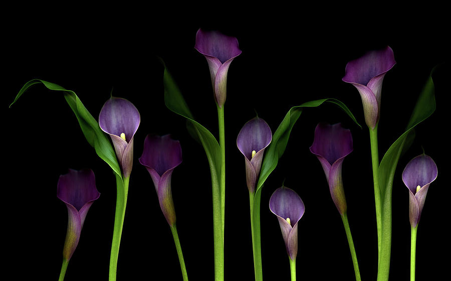 Calla Lilies Photograph by Marlene Ford