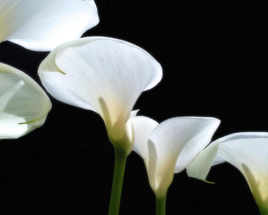 Calla Lilies by Thomas Hall