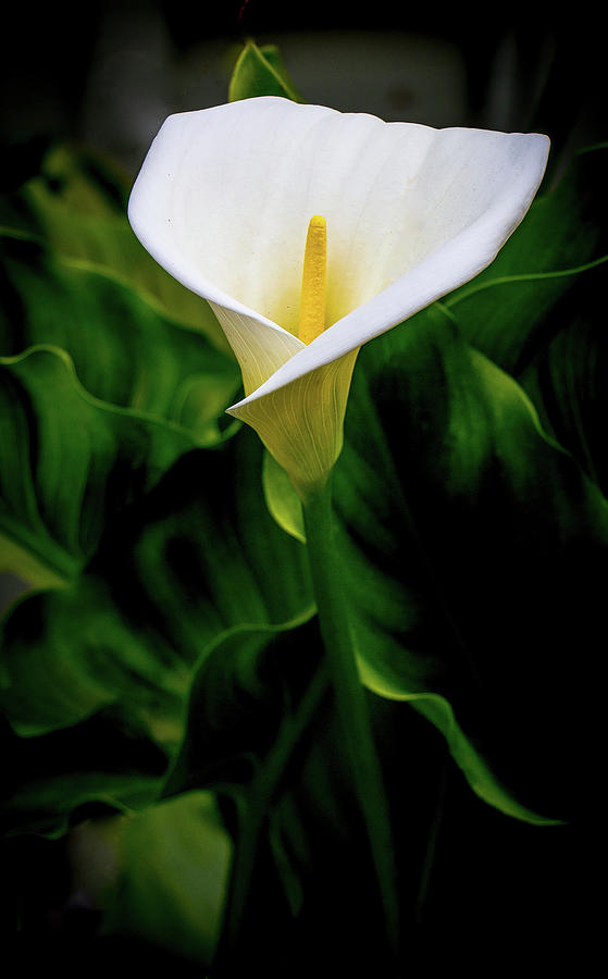 Calla Lily and Leaves by Venetia Featherstone-Witty