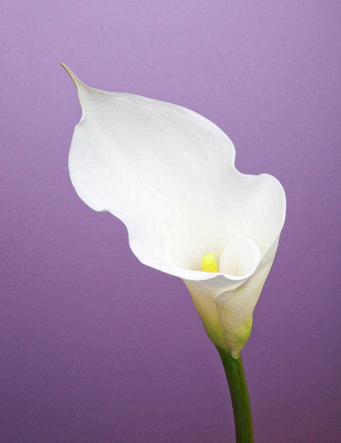 Calla Lily On Purple Background Photograph by William Andrew