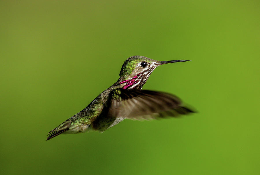 Calliope Hummer by Ronnie and Frances Howard