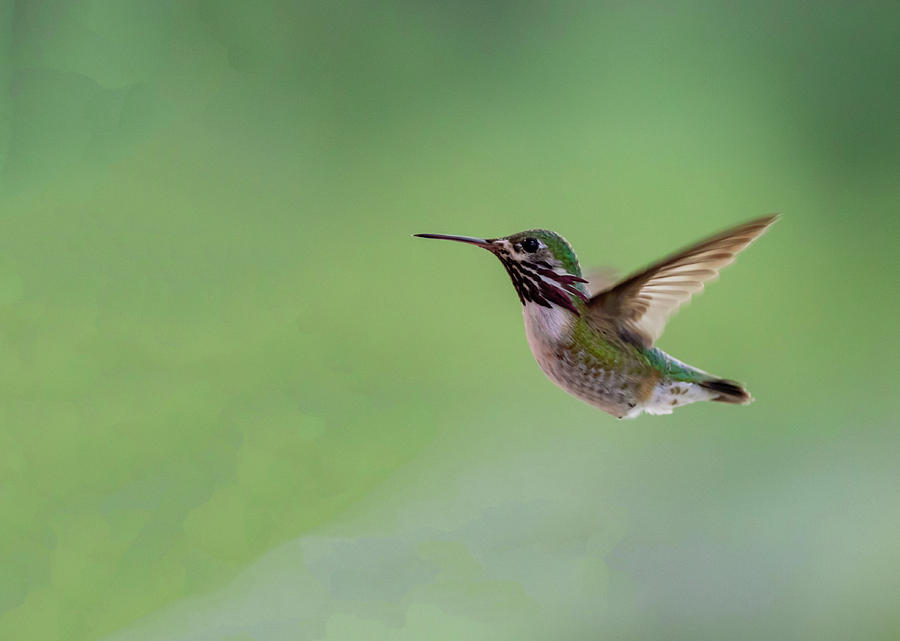Calliope Hummingbird by Michael Chatt