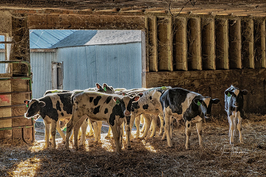 Barn Photograph - Calves by Jim Thompson