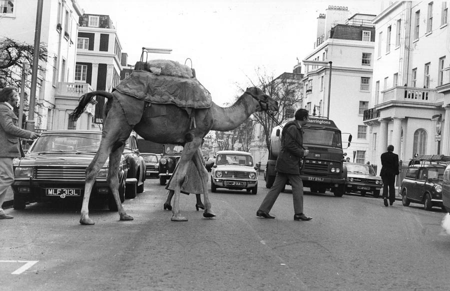 Camel Crossing Photograph by Evening Standard