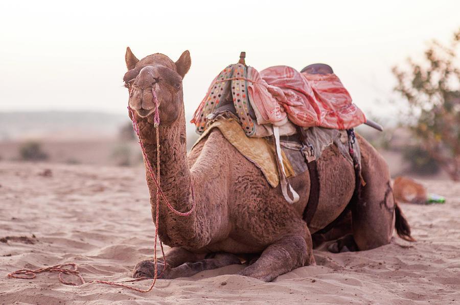 Camel Photograph by Flash Parker