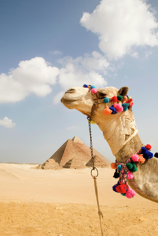 Camel In Desert With Pyramids Background Photograph by Grant Faint