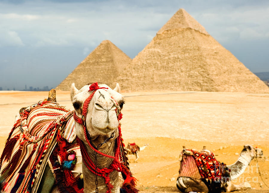 Arid Photograph - Camel  In Egypt by Nutsiam
