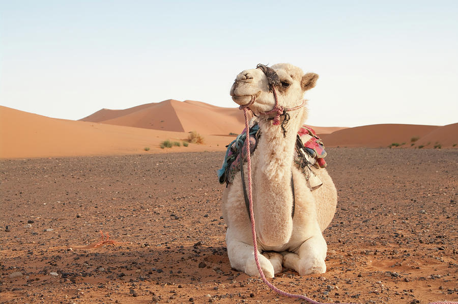 Camel With Bridle Ready For Trek Photograph by Gavind