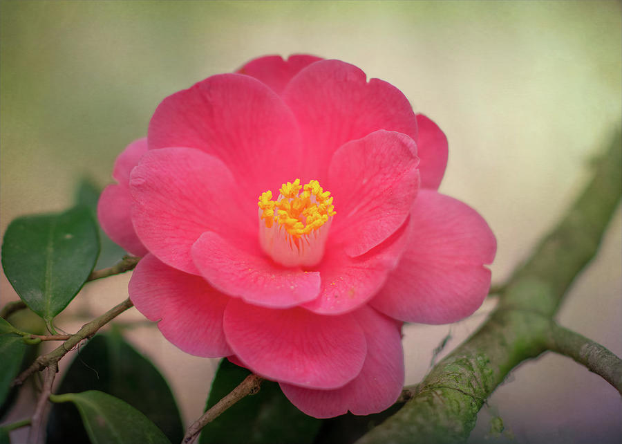 Camellia of Wormsloe Plantation by Douglas Wielfaert