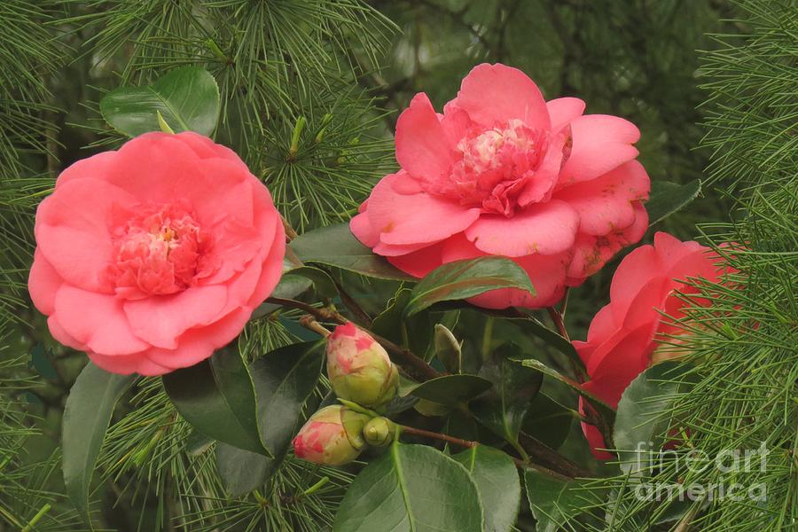 Camellia among pines by Frank Townsley