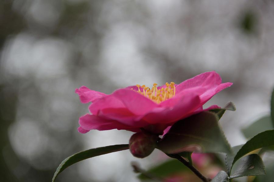 Camellia Facing the Sky by Amy Sorvillo