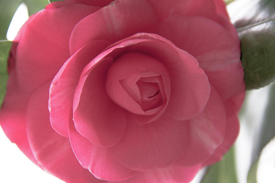 Camellia Flower by Amy Sorvillo