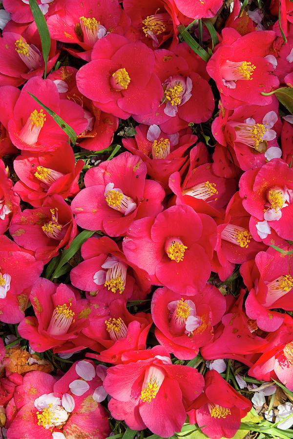 Camellia Flowers Photograph by Masahiro Makino