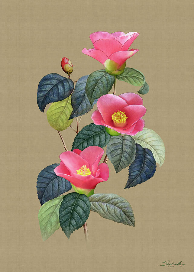 Camellia Japonica by Spadecaller
