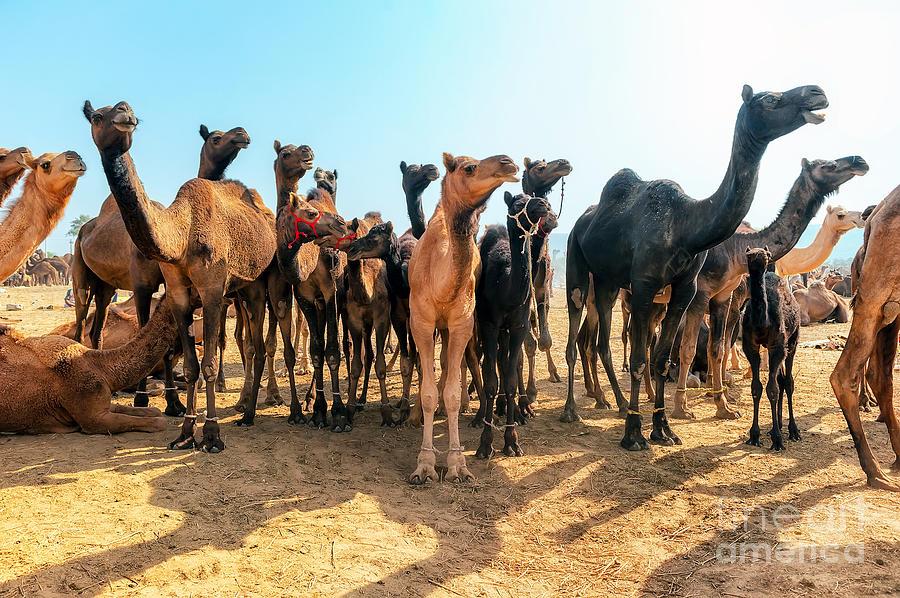 Safari Photograph - Camels by Banana Republic Images
