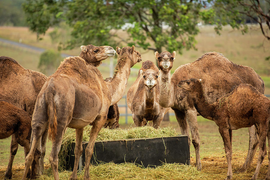 Camels out amongst nature by Rob D Imagery