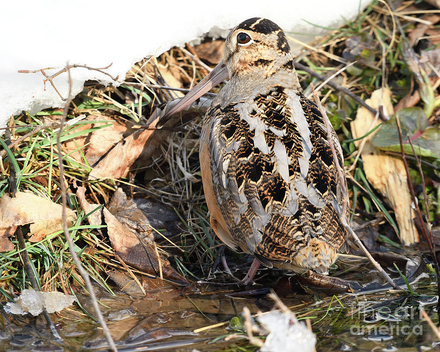 Camouflaged American Woodcock by Timothy Flanigan