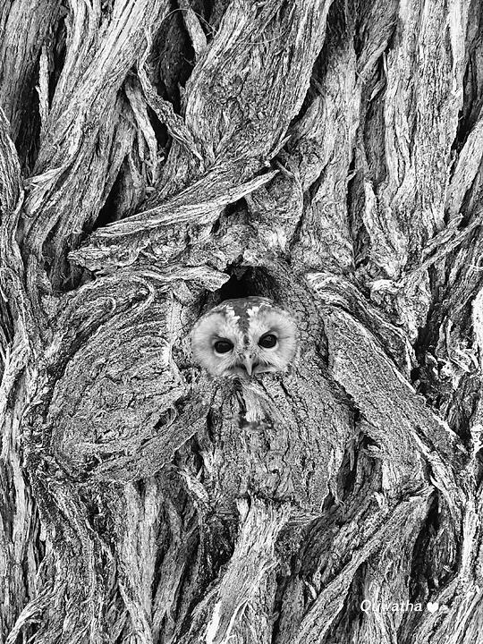 Camouflaged Owl by Quwatha Valentine