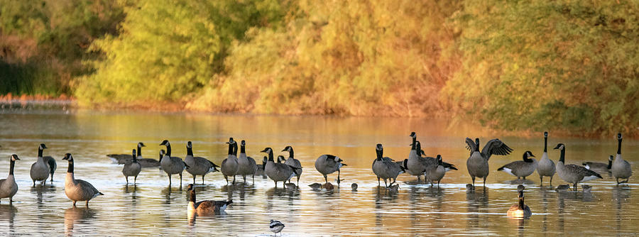 Canada Geese 1906-102019 by Tam Ryan