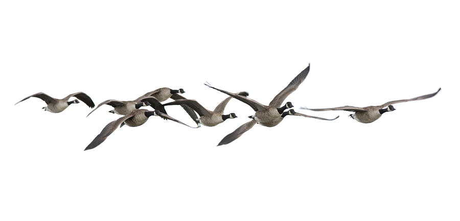 White Background Photograph - Canada Geese Branta Canadensis by Andrew howe