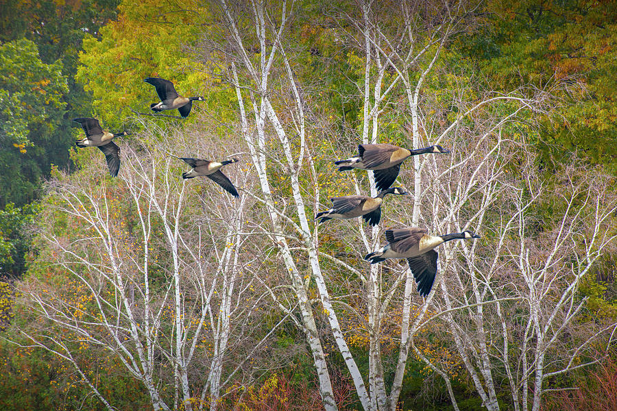 Canada Geese coming in for a Landing by Randall Nyhof