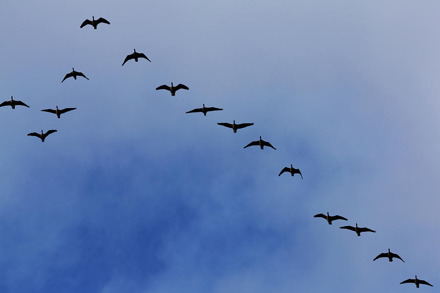 Canada Geese Flying In Formation Photograph by Martin Child