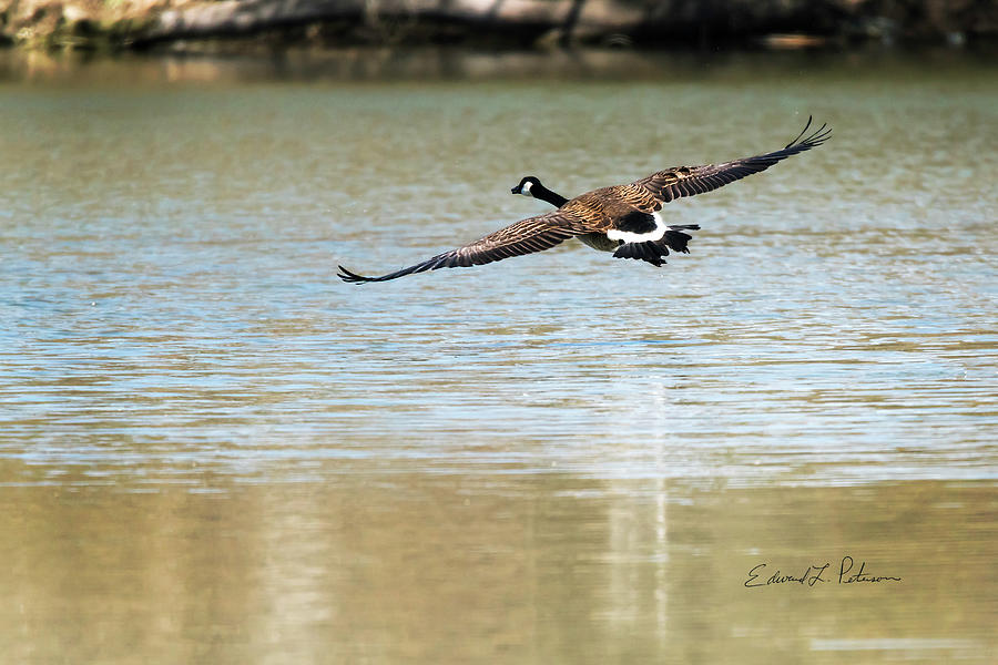 Canada Goose Landing by Edward Peterson