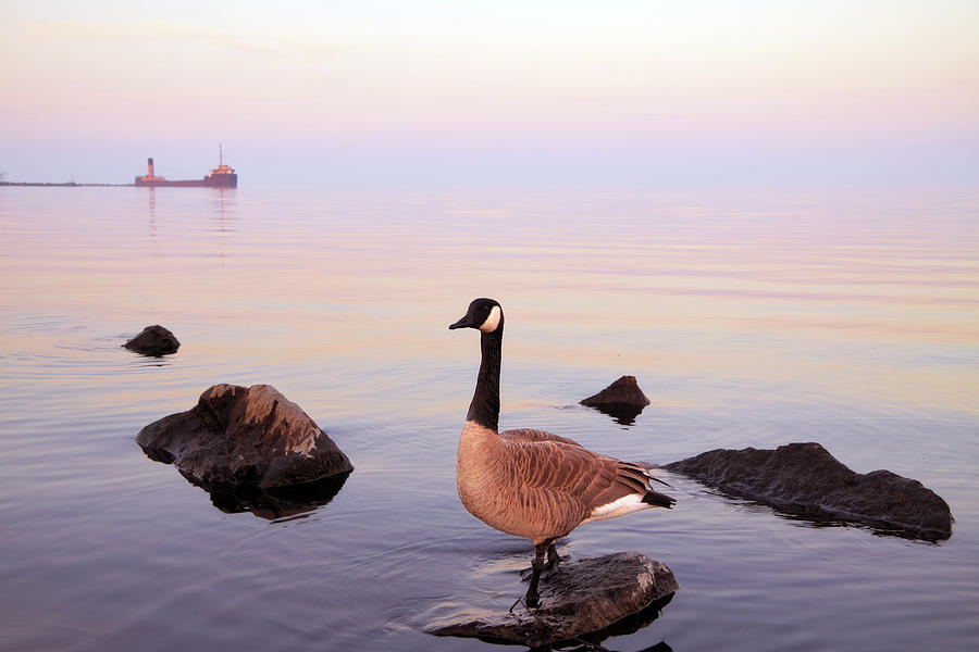 Canada Goose Photograph by Orchidpoet